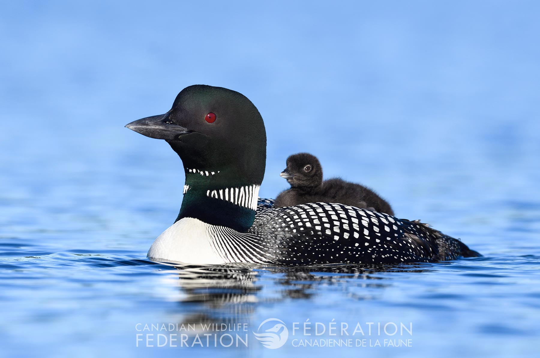 loon-parent-chick-water-bird.jpg