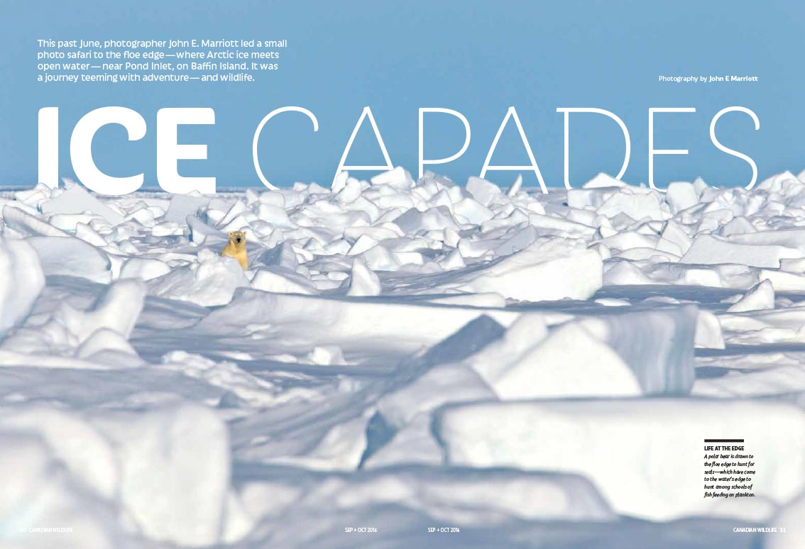 Article image with polar bear peeking out amongst mounds of snow