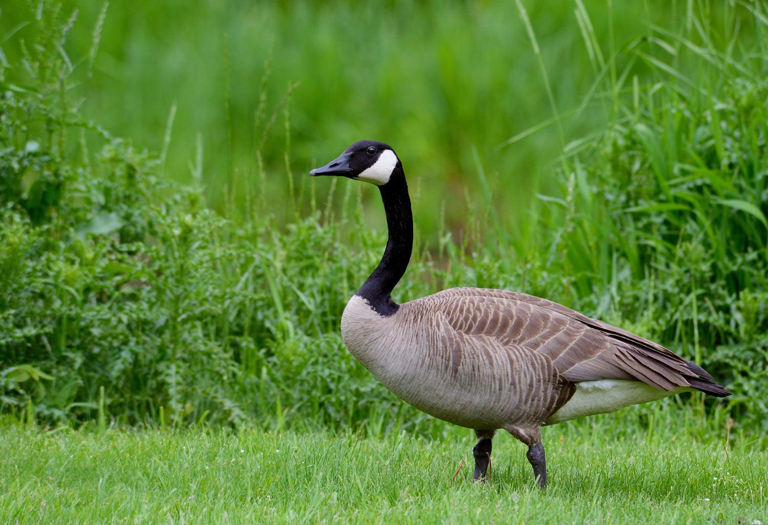 Canada Goose on the grass