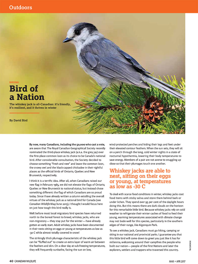 Article image with photo of a Whiskey Jack bird