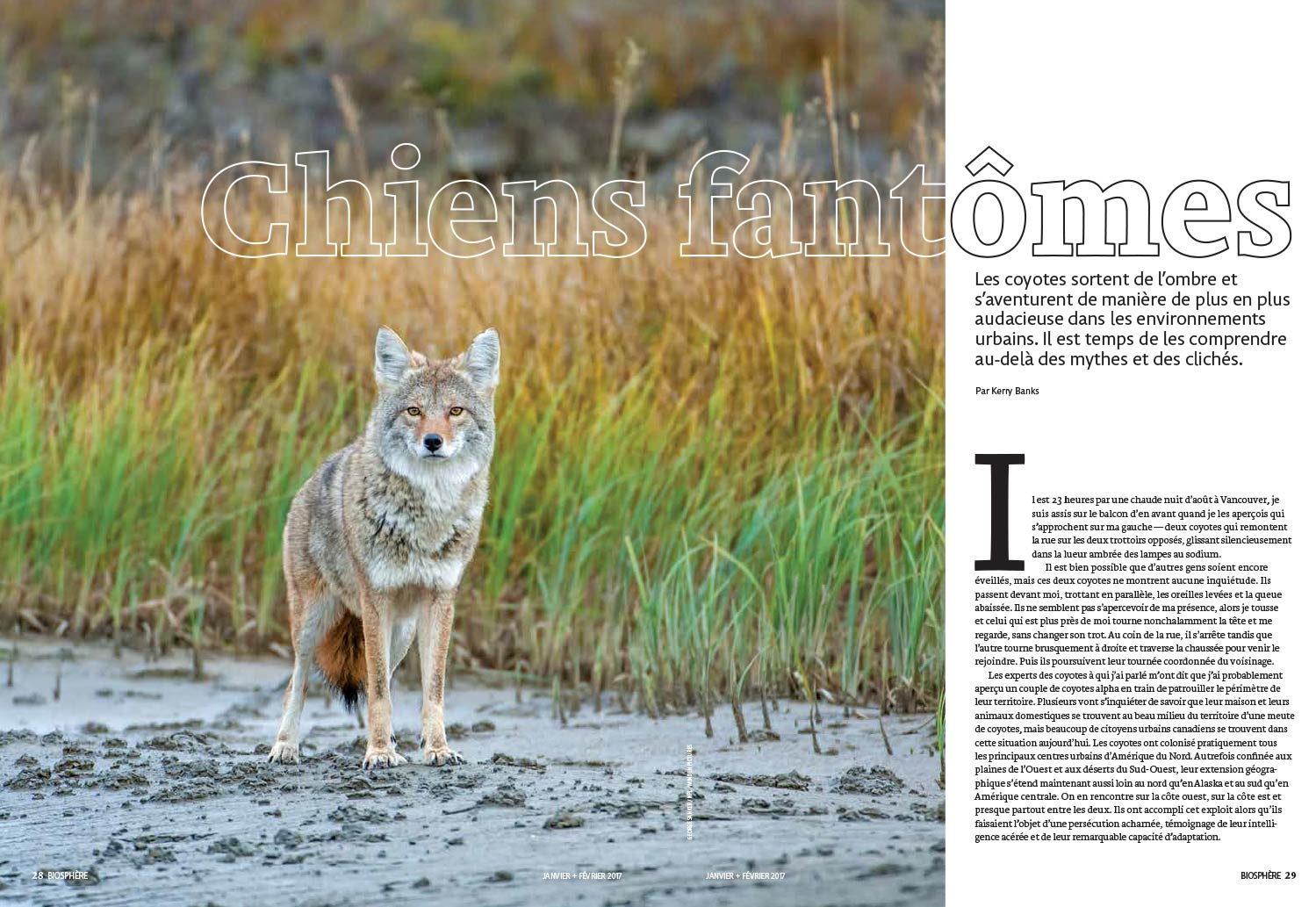 Article image with photo of a coyote in a field