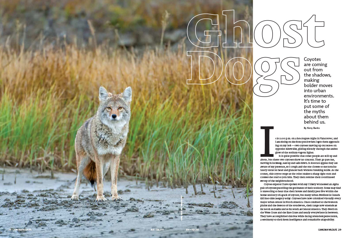 Article image with photo of a coyote