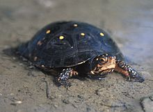 Spotted Turtle is a type of freshwater turtle
