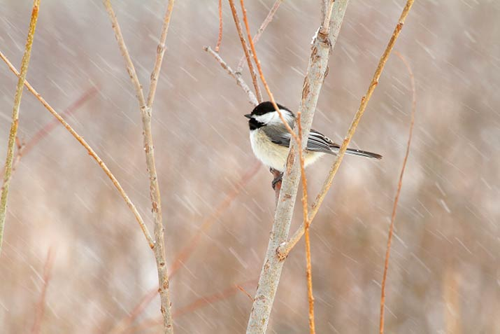 Chickadee in a winter storm