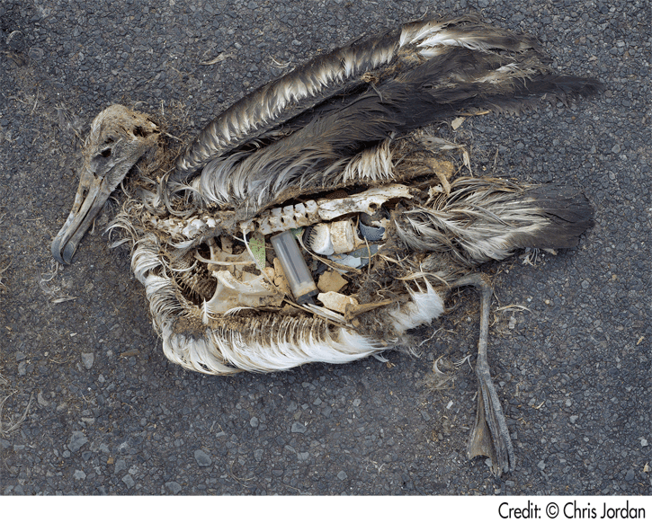 Bird carcass with stomach contents exposed which contains plastic