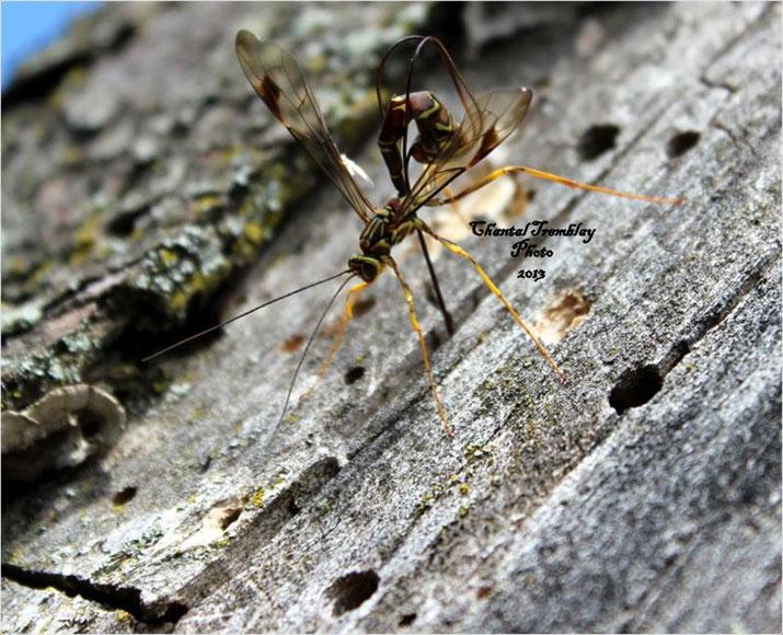 Chantal-Tremblay-wasp.jpg