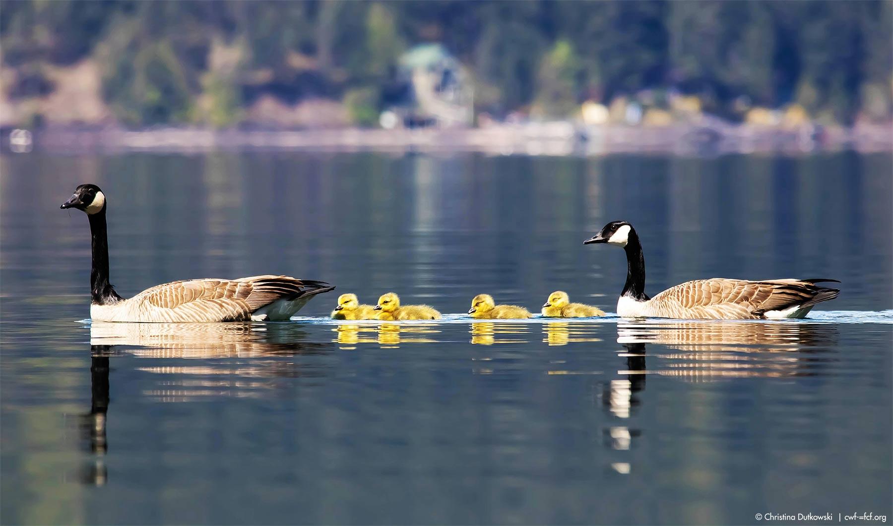 Canada Goose Ducklings