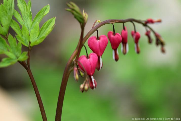 Close up of bleeding heart flowers