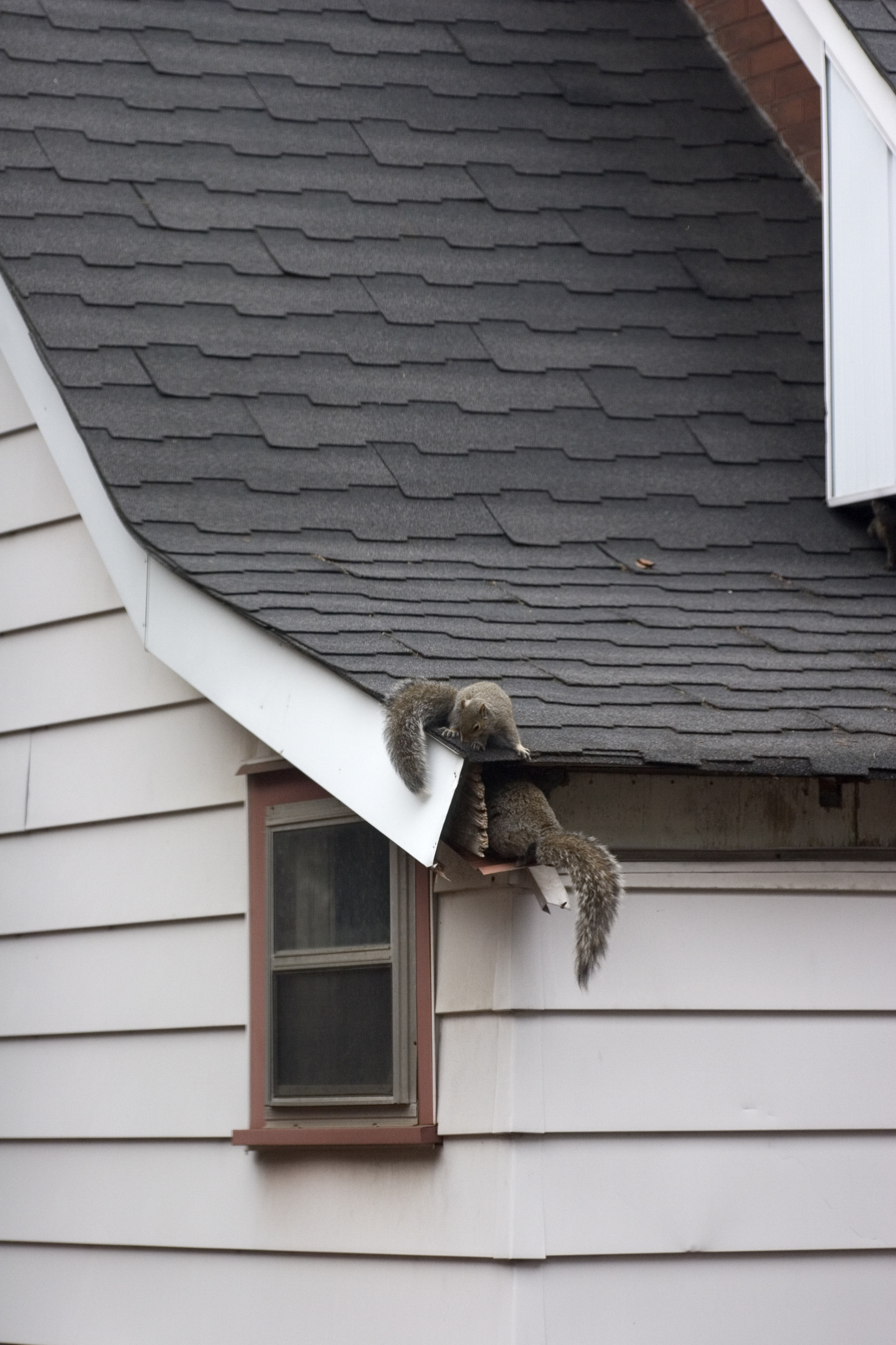 squirrel-on-roof