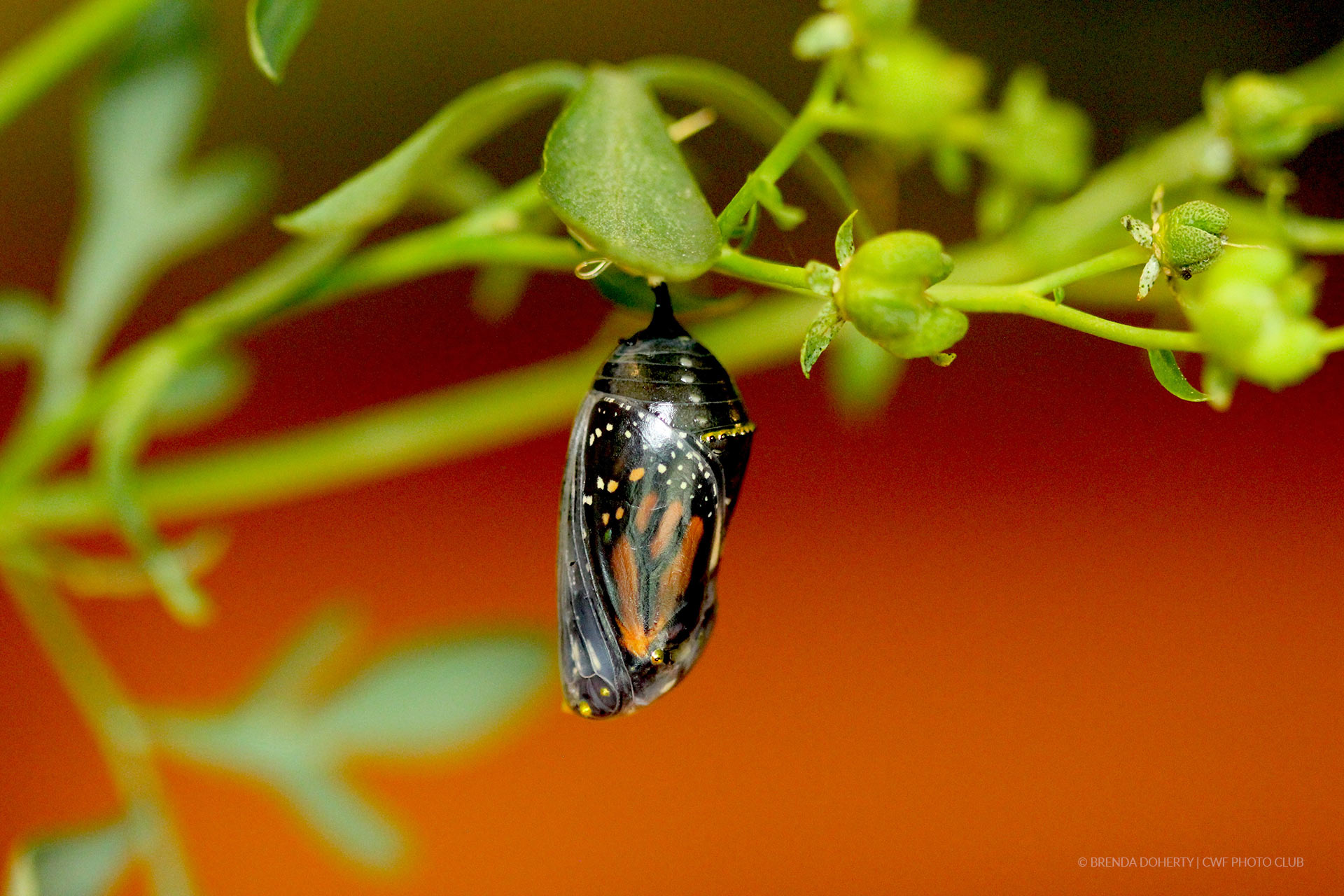 monarch chrysalis