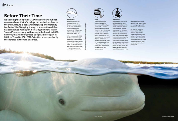 Beluga whale just under the surface of the water