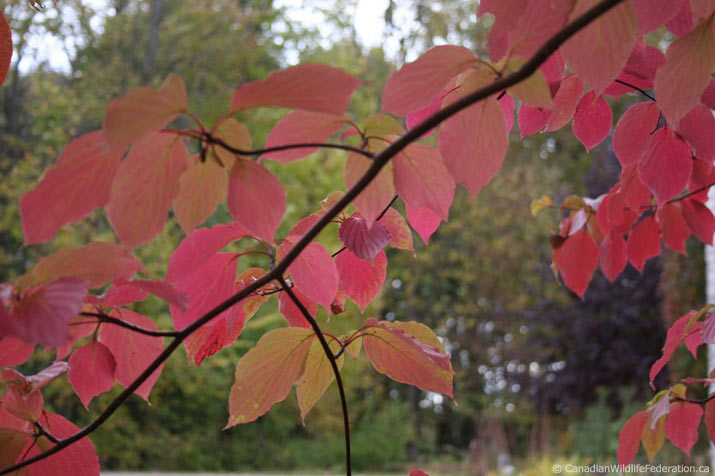 Pagoda Dogwood leaves turning red