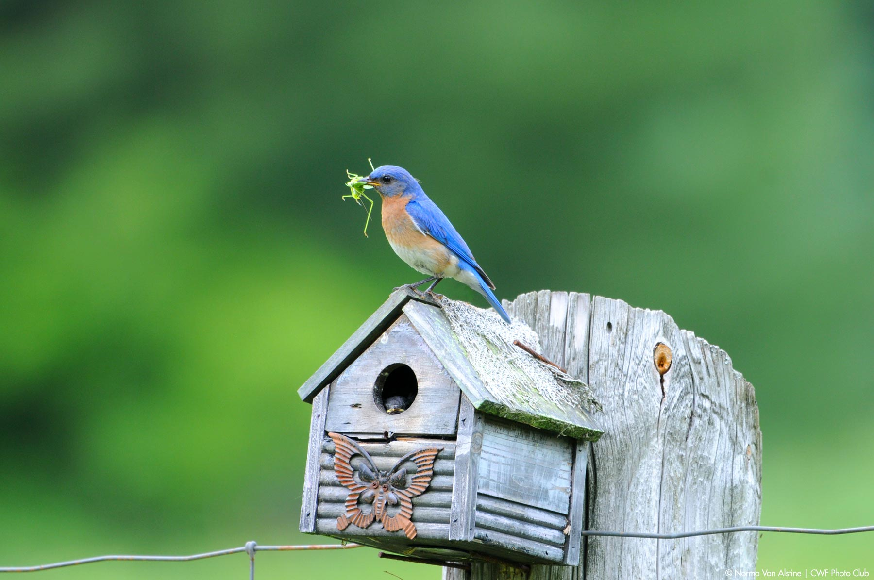 bird house bluebird