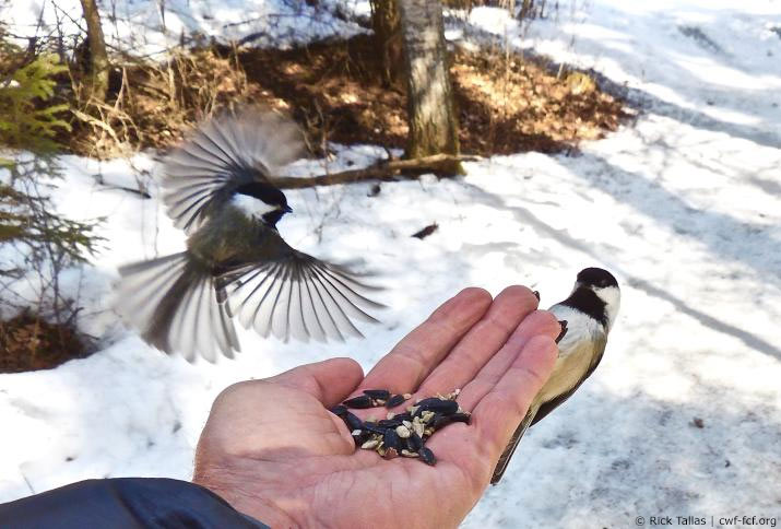 Chickadee eating from a person's hand