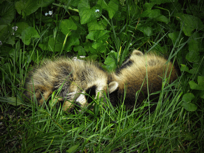 Raccoons curled up on the grass