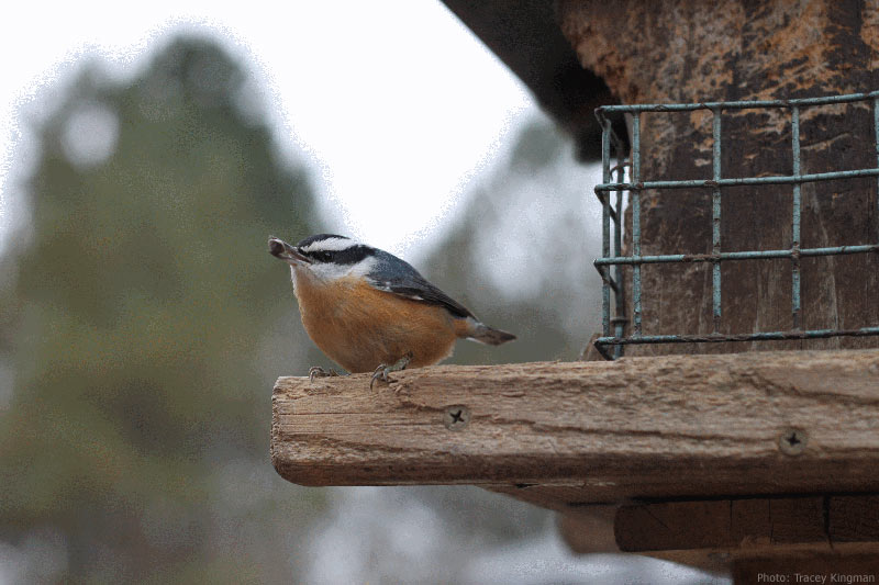 Red-breasted nuthatch bird with a seed in its mouth