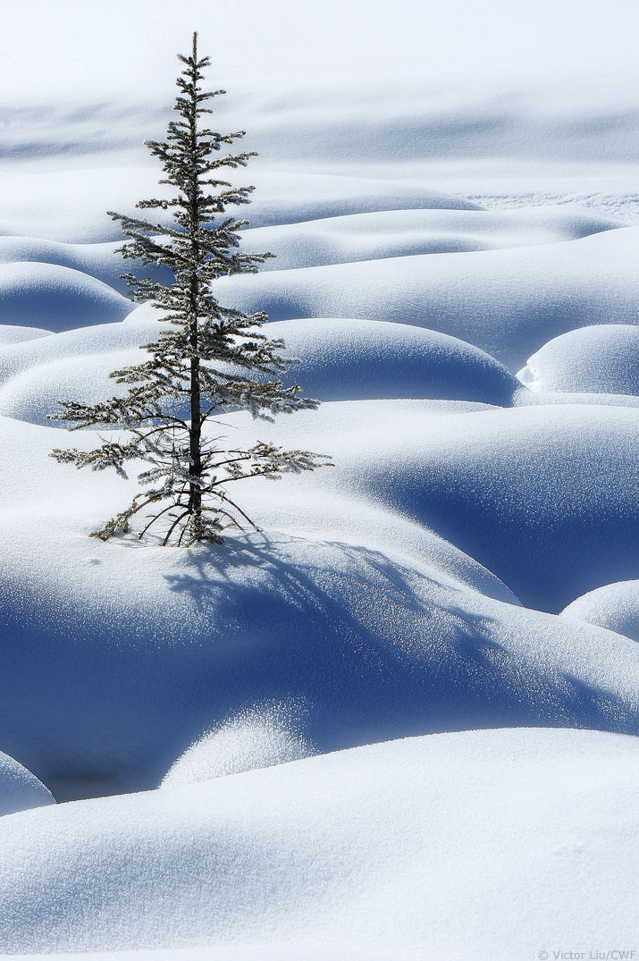 One spruce tree sticking out amidst a field of snow