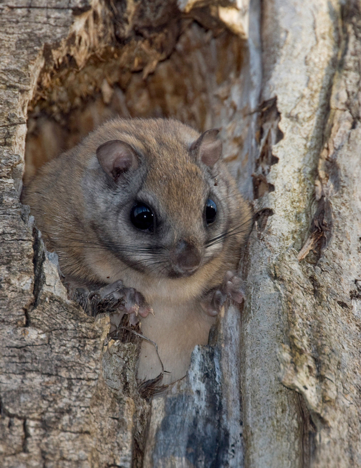 Northern Flying Squirrel sitting in a tree