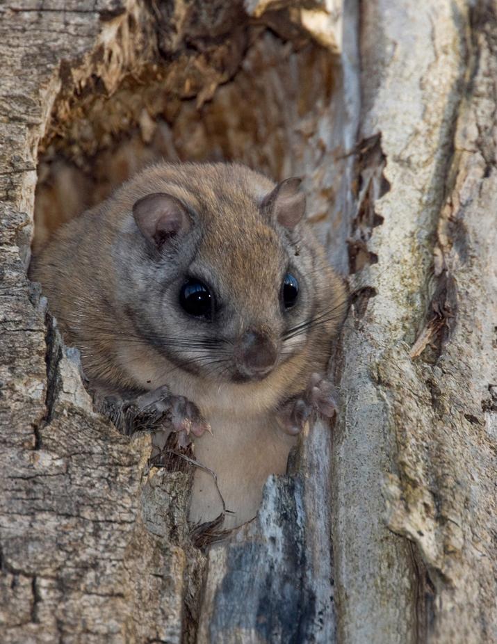 Canadian Wildlife Federation: Northern Flying Squirrel