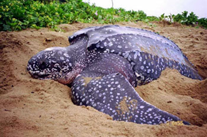 Leatherback Turtle on the sand