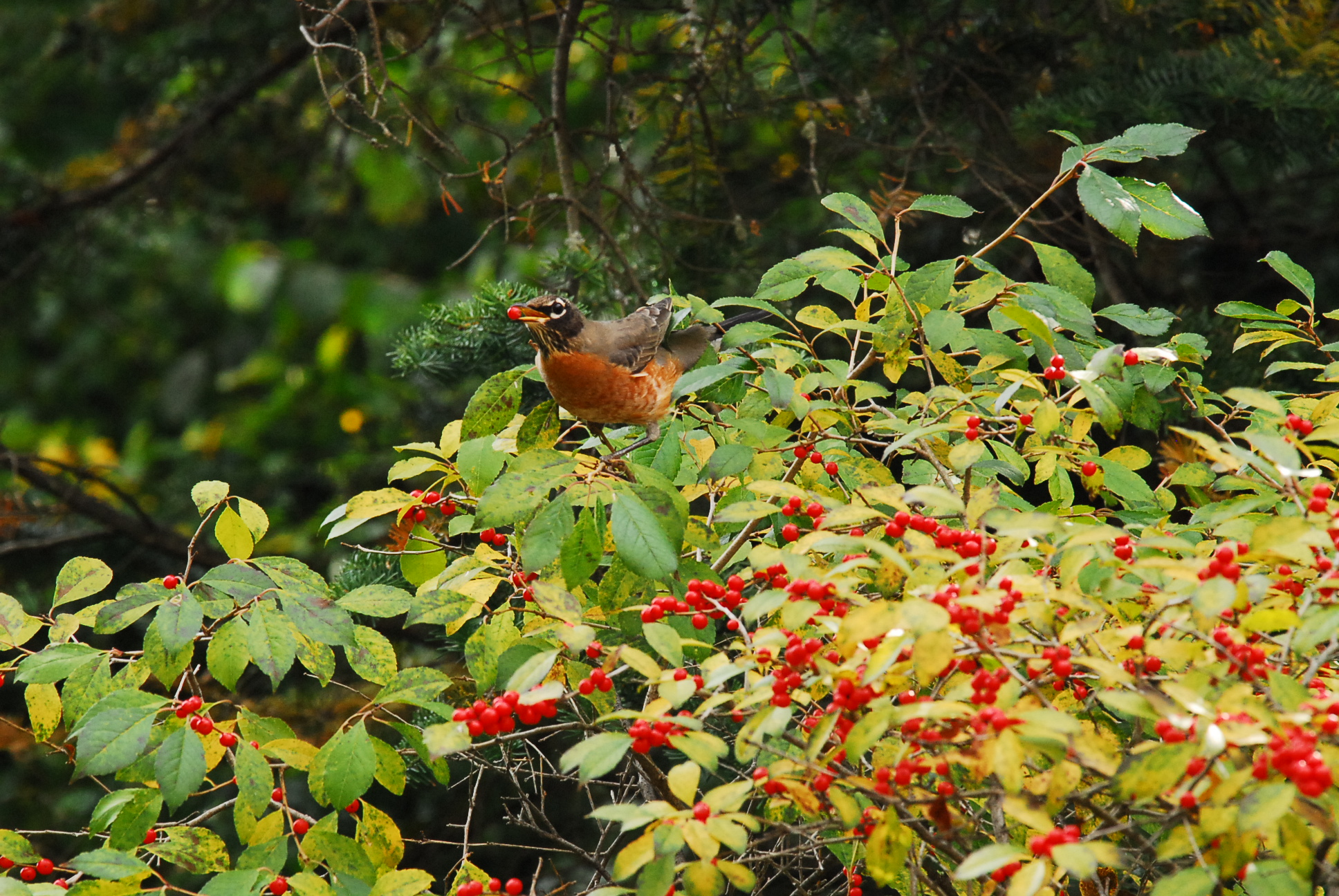 Robin enjoying a Canadian Holly berry
