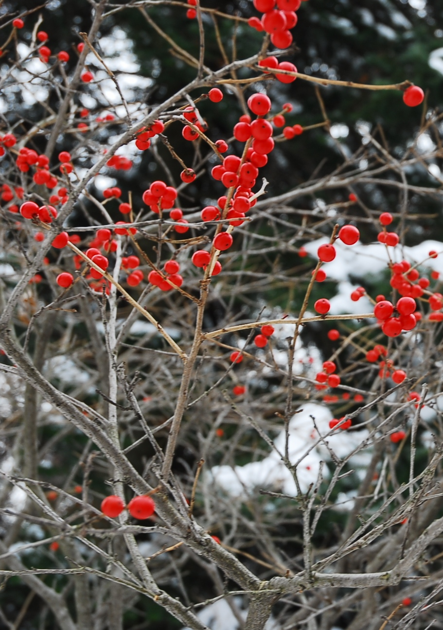 Canadian holly berries at the beginning of winter