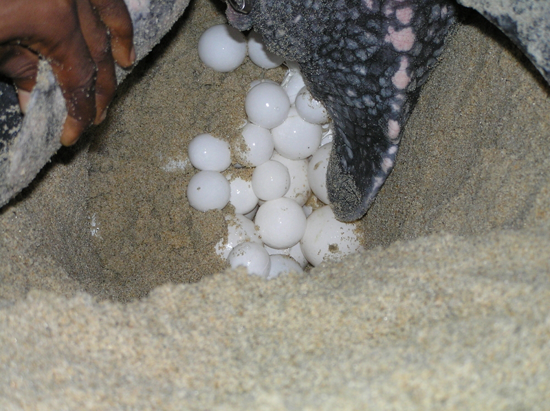 Leatherback laying eggs on the beach