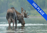 Moose drinking from lake