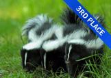 3 baby skunks