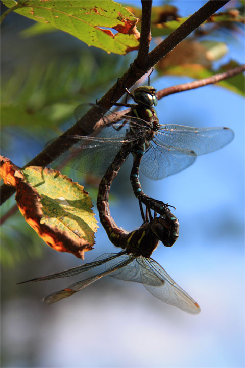 Dragonflies - Photoclub March Winner