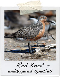 Red Knot Bird