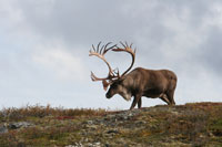 climate change cap and trade caribou