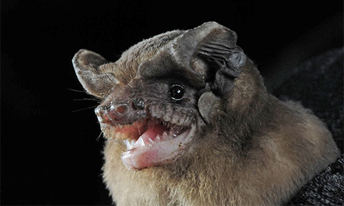 Brasilian Free tailed bat