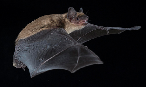 Big Brown Bat in flight
