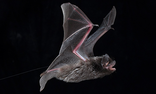 Silver haired bat with transmitter