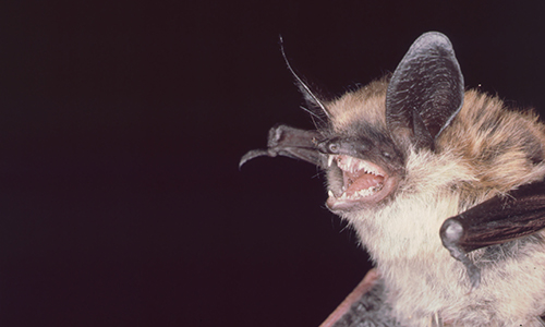 Long eared bat