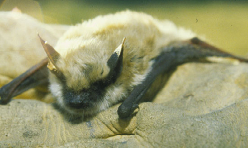 Small footed bat