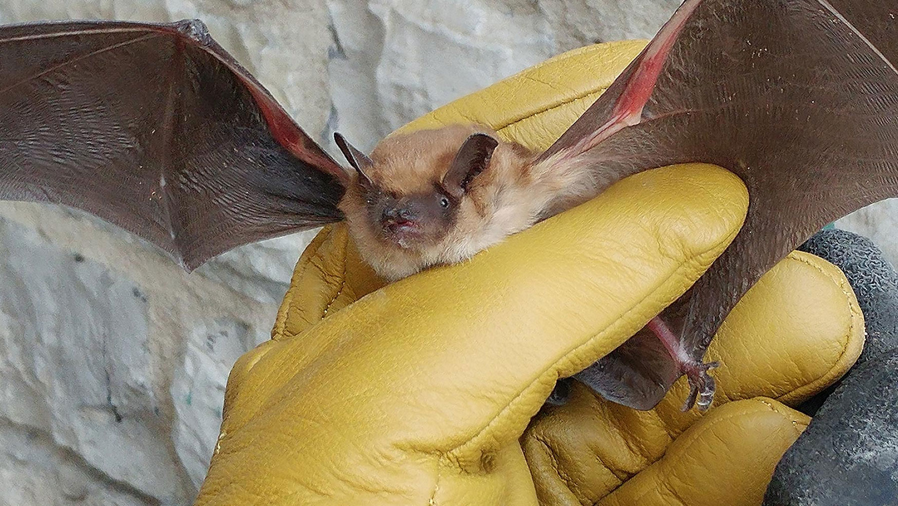 Rescued Big Brown Bat