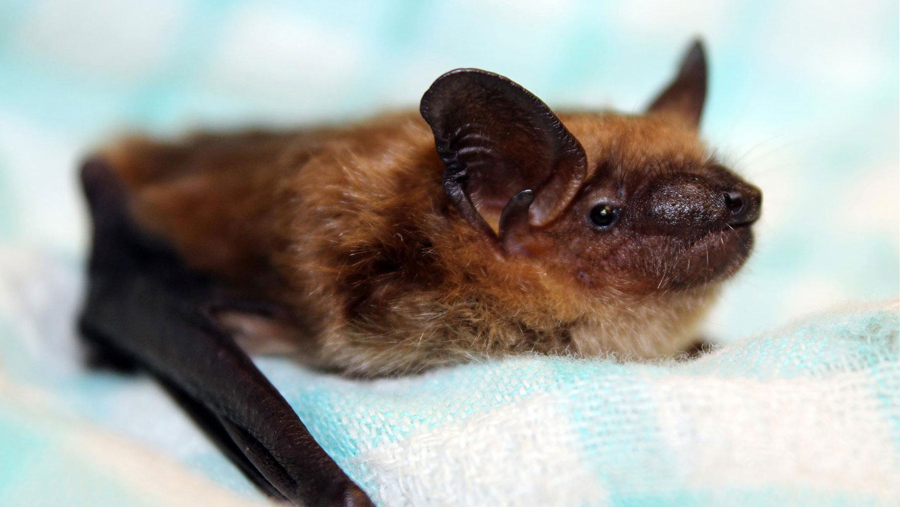 Rescued bat sitting on a blanket