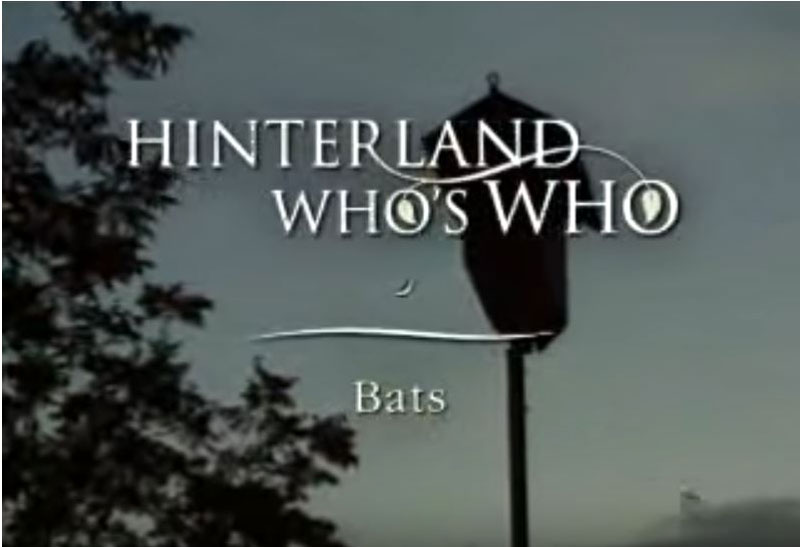 Hinterland Who's Who video on bats