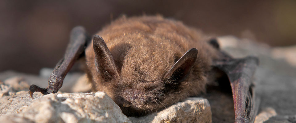 Little brown bat on a rock