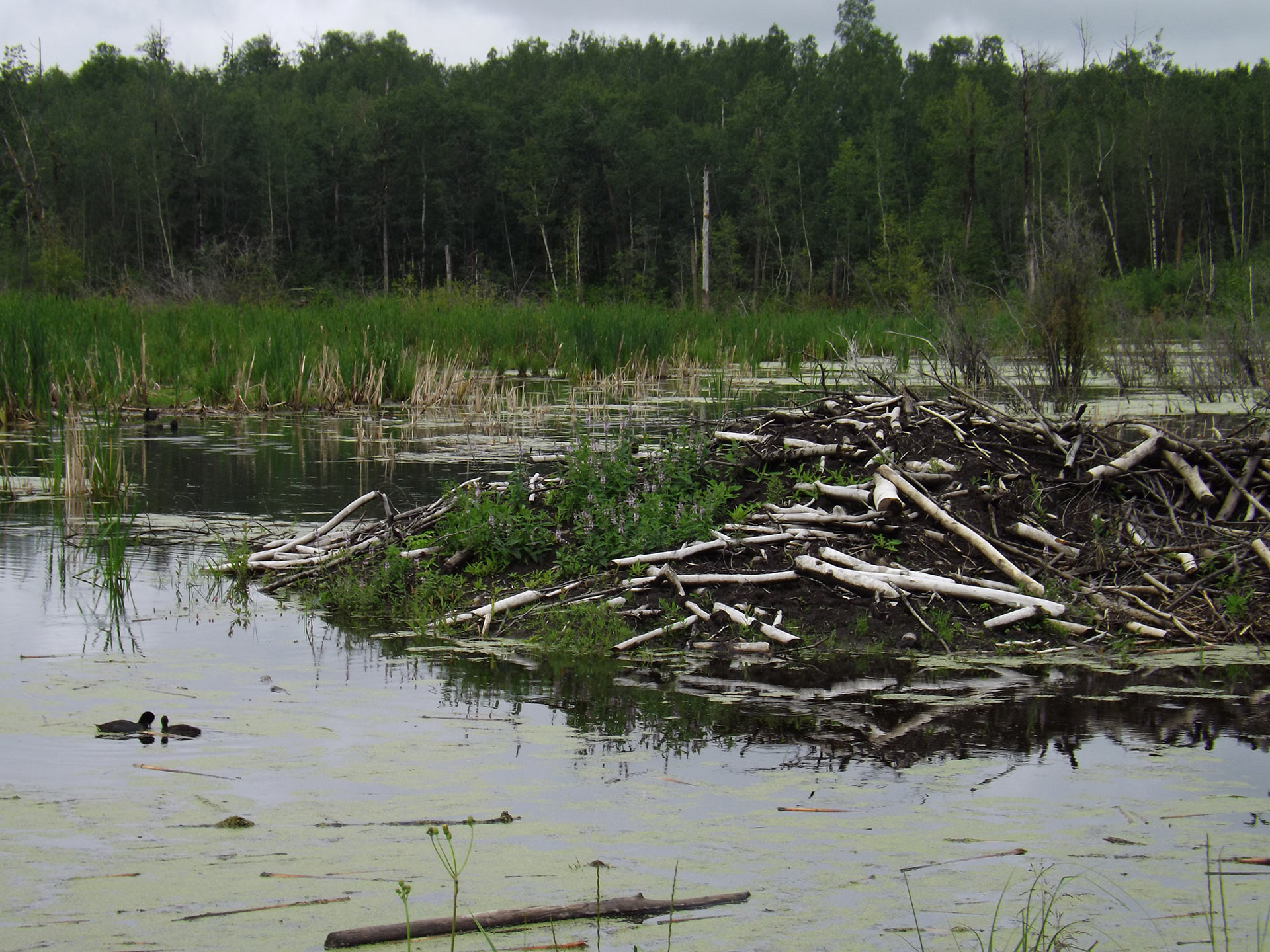 Beaver dams were a prime target for iNaturalist.ca photos