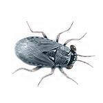 big-eyed bugs