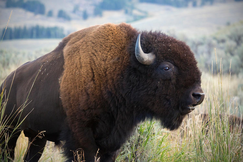 bison wild