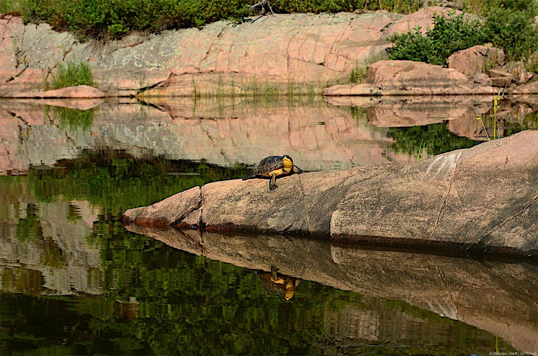 Blanding's Turtle sunning