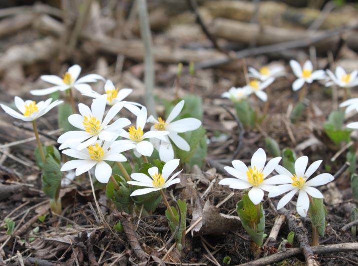 Bloodroot flowers in a garden