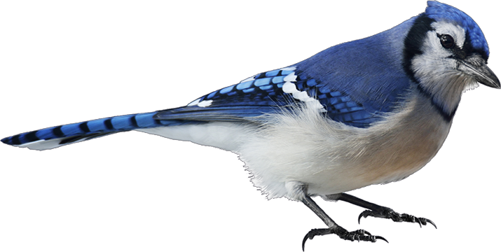 Image of Blue Jay