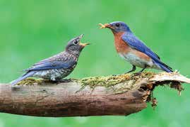 Bluebird feeding baby bird