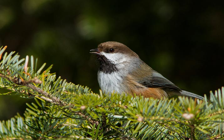 boreal forest chickadee