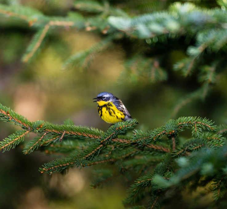 bird in boreal forest